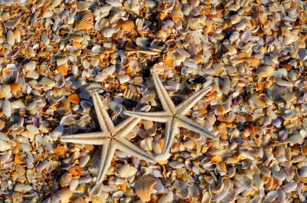 Two star fish over a bed of smaller shells and sand.